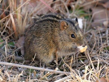 Африканские полосатые мыши и бурундуки помогли генетикам