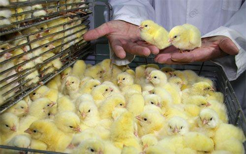 Агрохолдинг «равис» реализует цыплят для селян - «челябинская область»
