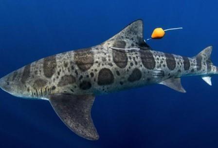 Акулы находят дорогу домой по запаху