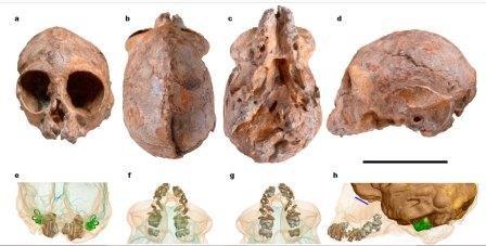 Алеся – общий предок человекообразных?