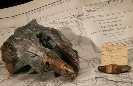 Аляскинский речной дельфин прятался от ученых в музее