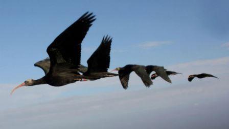 Альтруизм помогает птицам в дальних перелетах