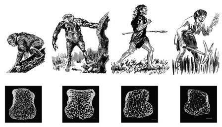 Антропологи объясняют хрупкость костей человека переходом к земледелию