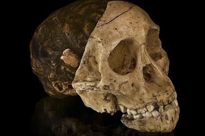 Антропологи усомнились в важности австралопитеков для эволюции мозга человека