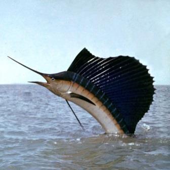 Атлантический парусник — совершенный охотник. видео