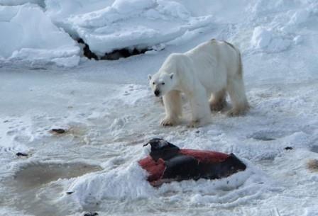 Белые медведи стали убивать дельфинов и класть их мясо в «холодильник»