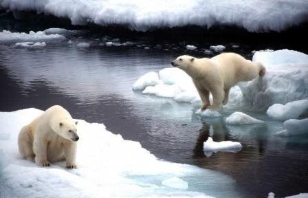 Белые медведи в сша и канаде умирают от голода