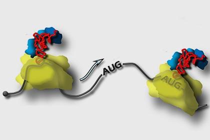 Биологи из мгу рассказали о синтезе белка живой клеткой