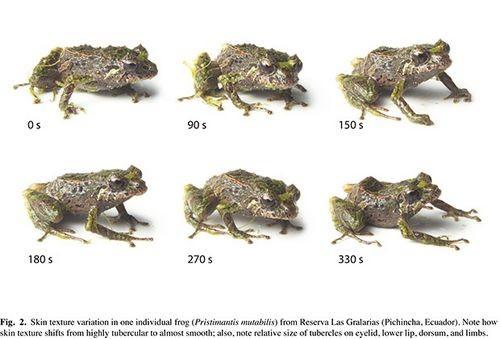 Биологи нашли первое меняющее структуру кожи позвоночное животное