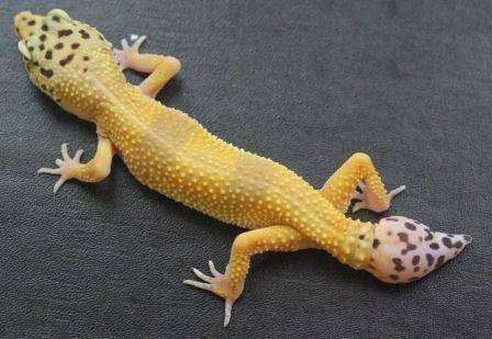 Биологи обнаружили стволовые клетки, позволяющие ящерицам отращивать хвост