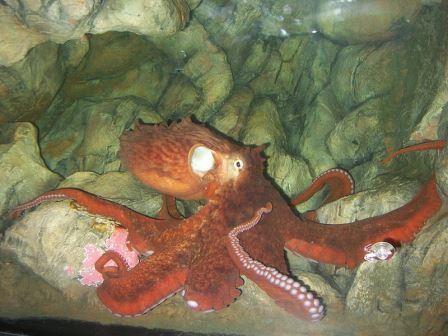 Биологи открыли новый вид гигантских осьминогов