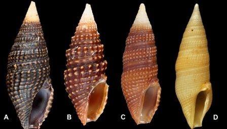Биологи открыли три новых вида морских улиток-«киллеров»