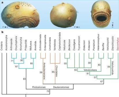 Большой рот и много анусов: неожиданный портрет предка человека