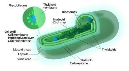 Цианобактерии трижды переизобрели кислородное дыхание