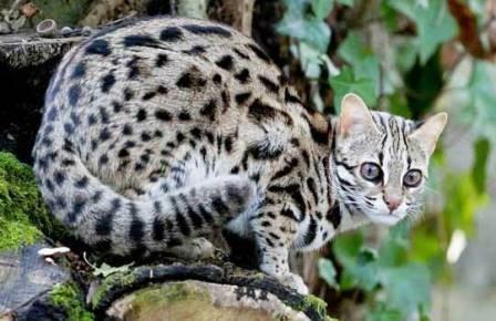 Древние китайцы приручили бенгальских кошек