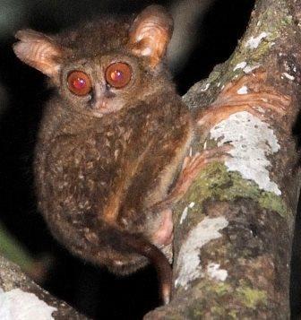 Два новых вида долгопятов открыты в индонезии