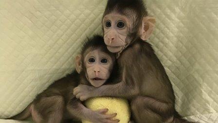 Генетики из китая впервые клонировали обезьяну по методике «овечки долли»