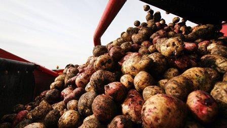 Генетики из сша создали гмо-картошку «золотого» цвета с повышенным содержанием витаминов