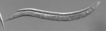 Генетики нашли переключатель «старости» в днк червей-нематод