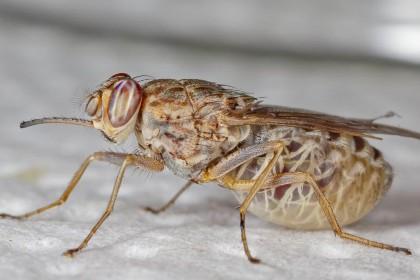 Генетики прочитали геном мухи цеце