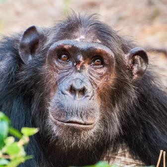 Генетики уличили шимпанзе и бонобо в межвидовом спаривании