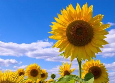 Генетики выяснили, как подсолнух поворачивается к солнцу