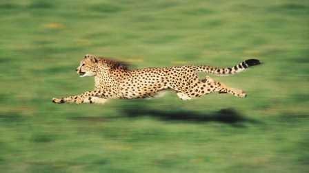 Гепарды получили возможность быстро бегать, благодаря строению внутреннего уха