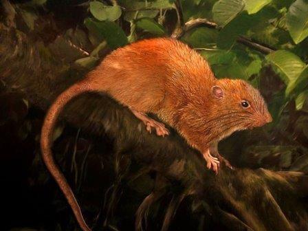 Гигантская древесная крыса открыта на соломоновых островах
