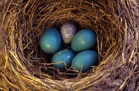 Гнездовые паразиты делают предложения, от которых нельзя отказаться