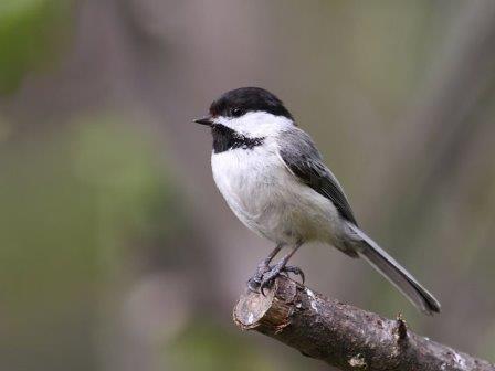 Гусеницы научились подражать сигналам тревоги птиц