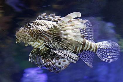 Хищные рыбы крылатки ведут себя как терминаторы