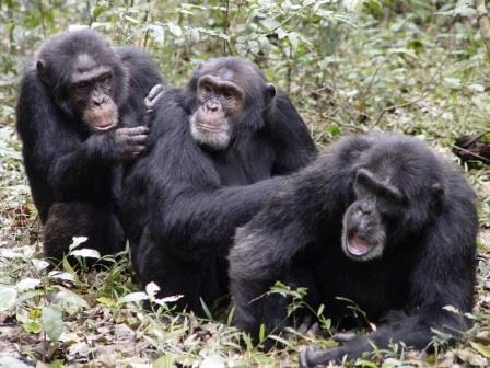 Иллюзия альтруизма: бескорыстно ли шимпанзе помогают друг другу