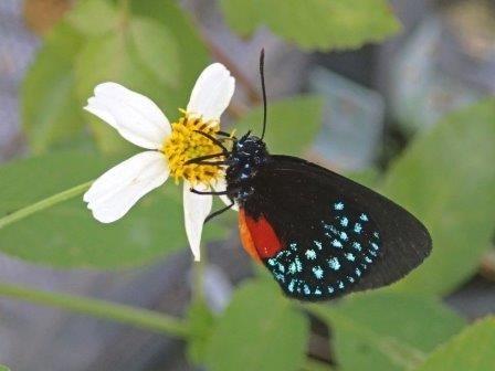 Исчезнувшая бабочка вернулась во флориду