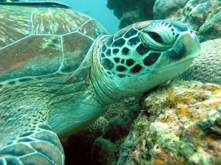 Из-за повышения температуры зеленые морские черепахи теряют самцов