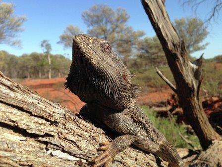 Изменение климата заставило австралийских агам стать «трансвеститами»