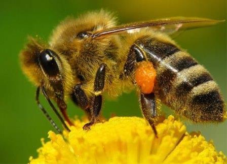 Яд австралийских пауков спасает пчел