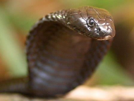 Ядовитые змеи для африки оказались опаснее многих болезней