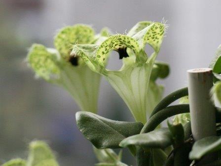 Южноафриканское растение пахнет умирающими пчелами