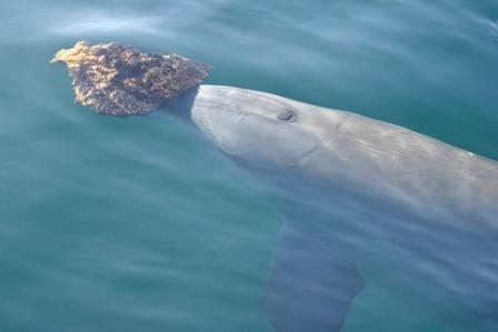 Как дельфины используют губки для поиска пищи
