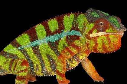 Как хамелеоны меняют цвет. видео