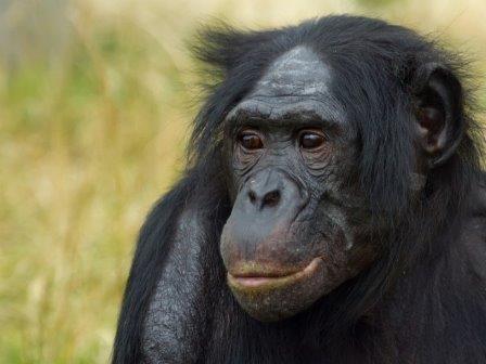 Карликовым шимпанзе к старости тоже нужны очки