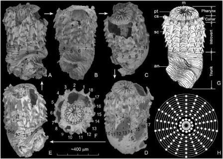 Китайские палеонтологи нашли древнейшего головохоботного червя