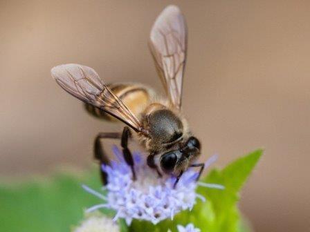 Китайские пчелы используют сигналы тревоги