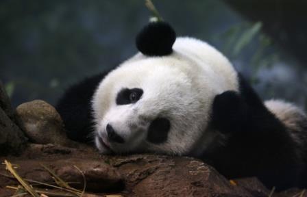 Китайские ученые расшифровали «язык» больших панд