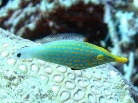 Коралловые рыбы применяют запаховую маскировку