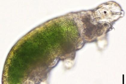 Криобиологи оживили находившихся в 30-летней заморозке тихоходок