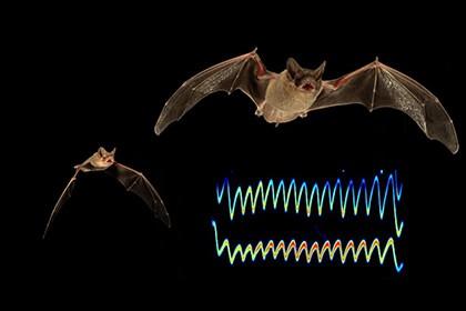 Летучие мыши глушат эхолокаторы друг друга