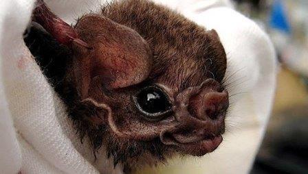 Летучие мыши-вампиры впервые адаптировались к человеческой крови