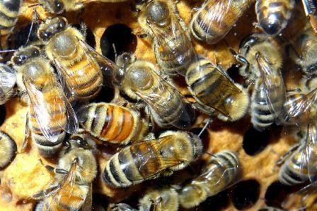 Люди эксплуатировали пчел еще в каменном веке