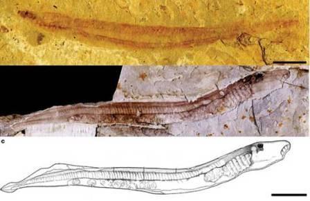 Миноги не меняются уже 125 млн лет с мелового периода